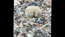Une ourse polaire obligée de fouiller dans une déchetterie pour se nourrir