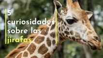 5 curiosidades sobre las jirafas