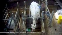 """Que sont les """"vaches hublot"""" des centres de recherche dénoncés par l'association L214 ?"""