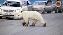 Complètement déboussolé, un ours polaire affamé traverse une ville russe, après un périple de 1500 kilomètres !