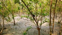 Sundarban - in a boat, On foot and with a fisherman, observing mangrove  roots , tides and cargos. Datta River and Sudhannakhali watch tower and River , Bay of Bengal , West Bengal, India.