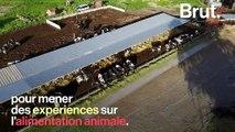 """L'association L214 dévoile des images choquantes des """"vaches à hublot"""""""