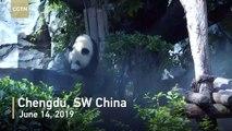 Les pandas géants forment une alliance avec des glaçons pour lutter contre la chaleur estivale