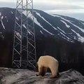 Un ours polaire perdu dans une ville de Russie, euthanasié puis transféré au zoo de Krasnoyarsk