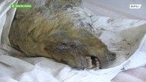 Cabeza de lobo de 30.000 años de antigüedad encontrada intacta en Siberia