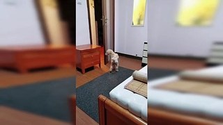 Intelligent dog follows owner's bedtime routine demands