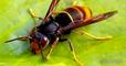 Picardie: Un homme décède suite à une piqûre de frelon européen dans un camping