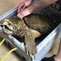 Terrifiant ! Cette tortue est réellement immense. A voir !!
