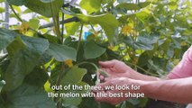 These melons can sell for as much as $22,500 each in Japan