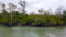Mangrove Delta of Sundarban - a dense, shifting and copious network of exposed roots, rivers and creeks, 4k stock footage - Bay of Bengal, West Bengal, India.