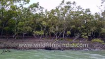 Rare and Endangered Mangroves  - Hetal (Phoenix paludosa) - of Sundarban Delta , exposed root system during low tide.  Enroute Dobanki Watch Tower , Bay of Bengal.  West Bengal. 4k stock footage