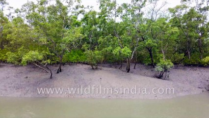 Sundarban Tiger Reserve during low tide - exposed mangrove root system, creeks, and river bank.