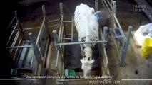 """Vacas """"ojos de buey"""": las imágenes de las indignantes prácticas de una granja experimental"""