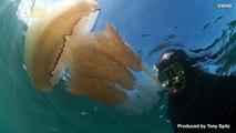 Thousands of Jellyfish Keep Washing Up on Beaches Around the World