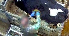 Vidéo choc des vaches à hublot : une pratique « choquante » mais « utile », selon le gouvernement