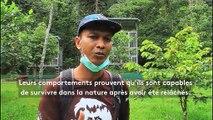 Orangs-outans : une école pour se réadapter à la vie sauvage
