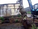 Sauvetage d'une vache piégée dans la boue. Impressionnant