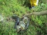 Ils viennent déranger un énorme anaconda en pleine chasse