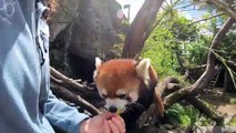 Red panda loves to eat grapes