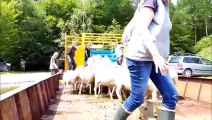 Transhumance de brebis à Madine