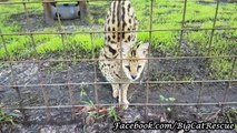 Ginger Serval Wants Another Treat