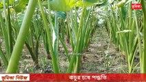 agro কচুর চাষ পদ্ধতি