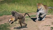Amazing! Baboon rescue antelope from leopard - Wild dogs vs wildebeest, Rhino vs Animals Real Fight