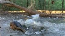 Imágenes de supervivencia de los aligátores en plena ola de frío en Carolina del Norte (EEUU)