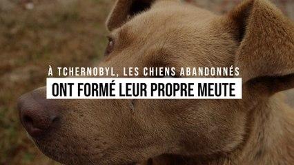 Après la catastrophe de Tchernobyl, les chiens abandonnés ont formé leur propre meute