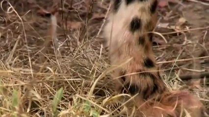 Ostrich vs Three Cheetah 2019