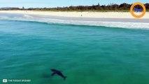 Un grand requin blanc nage près des surfeurs en Australie