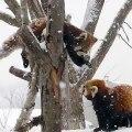 Ces deux panda roux se battent sous la neige. Regardez !
