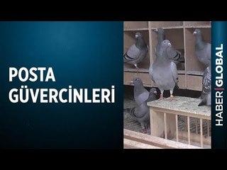 Şampiyon Posta Güvercinleri Nasıl Yetiştiriliyor?