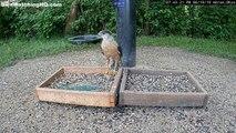 Cet aigle capture une colombe d'un coup !
