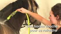 Pendant la canicule, petits soins pour les chevaux de Chantilly