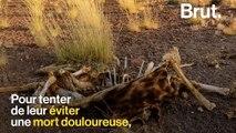En Namibie, le gouvernement met en vente des animaux pour les sauver de la sécheresse