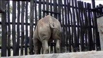 Cinco rinocerontes europeos, trasladados a Ruanda para evitar su extinción