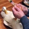 Ce canard qui se fait limer les ongles est très amusant ! Regardez !