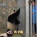 Cette maman panda refuse de se séparer de son bébé. Regardez comment on l'a distrait !