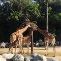 Elles sont très belles ces girafes. Admirez les !