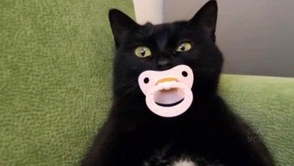 Les chats ont leurs bizarreries non récurrentes