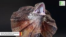 What's With The Frill Of The 'Frilled Dragon' Lizard?