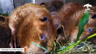 Watch: Beaver Parents Spending Quality Time With Their 7 Babies