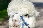Alpaca and Ostrich named British BBQ staple
