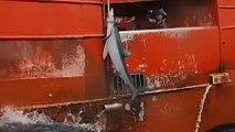 Greenpeace dénonce la surpêche de requins dans l'Atlantique Nord