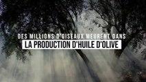 Des millions d'oiseaux meurent dans la production d'huile d'olive