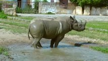 Watch: Endangered rhinos take trip of a lifetime from Europe to Africa