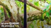 Le singe-araignée, l'acrobate des forêts d'Amérique du Sud