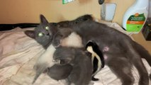 Mommy Cat Fosters Baby Skunk
