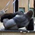 Hilarant ! Regardez ce que va faire ce grand gorille !